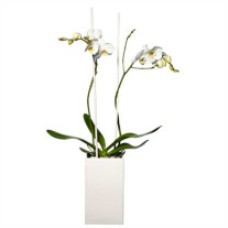 Single plant Phalaenopsis